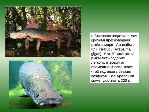 Самая крупная пресноводная рыба в мире